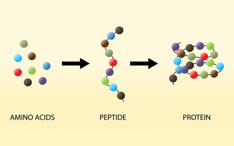 Cung cấp axit amin cho cơ thể